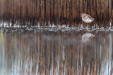 Wood Sandpiper (Tringa glareola)