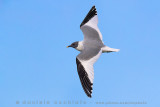 Sabine's Gull (Gabbiano di Sabine)