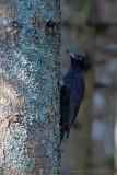 Black Woodpecker (Picchio nero)