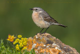 Water Pipit (Spioncello)