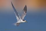 Little Tern (Fraticello)