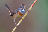 Bluethroat (Pettazzurro)