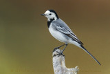 White Wagtail (Motaciclla alba)