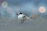 Common Tern (Sterna comune)