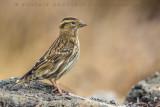 Rock Sparrow (Passera lagia)