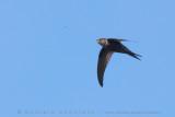 Plain Swift (Rondone unicolore)
