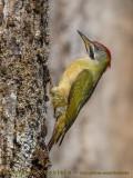 Levaillant's Green Woodpecker (Picchio verde di LeVaillant)