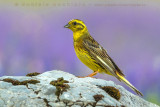 Yellowhammer (Zigolo giallo)