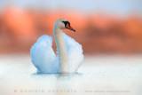 Mute Swan (Cigno reale)