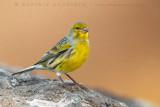 Canary (Canarino selvatico)