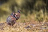 Red-legged Partridge (Pernice rossa)