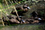 nz_endemic_ducks_