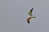 Svartvingad glada - Black-winged Kite (Elanus caeruleus)