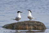 Kentsk tärna - Sandwich Tern (Thalasseus sandvicensis)