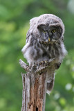Lappuggla - Great Grey Owl (Strix nebulosa)