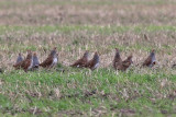 Rapphöna - Grey Partridge (Perdix perdix)