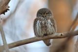 Sparvuggla - Eurasian Pygmy Owl (Glaucidium passerinum)