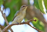 Black-whiskered Vireo - (Vireo altiloquus)