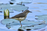 Lousiana Waterthrush - (Parkesia motacilla)
