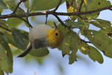 Yellow-headed Warbler - (Teretistris fernandinae)