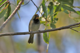Yellow-faced Grassquit - (Tiaris olivaceus)