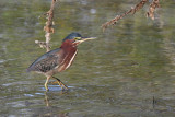 Green Heron - (Butorides virescens)