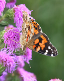 Painted lady butterfly on meadow blazing star