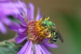 Metallic green sweat bee on New England aster