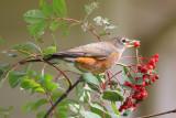 American robin in showy mountain ash