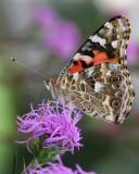Painted lady butterfly on meadow blazingstar