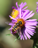 Hoverfly on New England aster