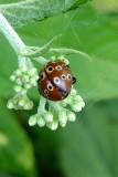 Eye spotted ladybug on Joe Pye weed