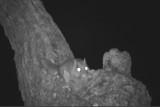 Flying squirrel on bur oak next to feeders