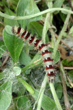 American lady caterpillar on pussytoes
