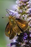 Fiery skipper butterfly on hyssop