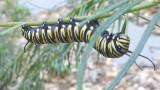 Monarch caterpillar on whorled milkweed