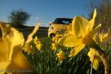 Scorpion in the daffodils