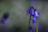 Bluebells with Wild Garlic