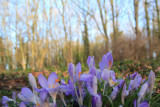 Out of focuses Crocuses