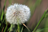 Dew on a dandelion