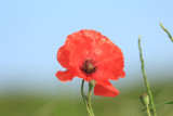 Just one more poppy