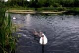 Swans on Joe's Pond