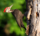 Pileated Woodpecker_9578.jpg