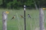 Kingbird_1 by Ben Baldwin (Western on left, Eastern on right)