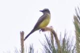 Kingbird_4 by Ben Baldwin