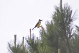 Kingbird_5 by Ben Baldwin