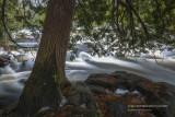 Cedar Tree at Bond Falls