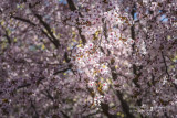 and more Cherry blossoms
