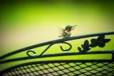 Humming bird drying its wings