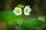 Thimbleberry flowers
